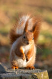 Red squirrel on tree stub royalty free stock images