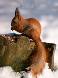 Red squirrel on tree stump stock photos