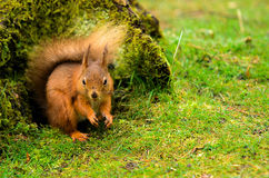 Red Squirrel by a Tree Stump Stock Image