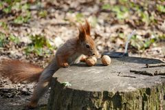Red squirrel near a tree stump with nuts Stock Image