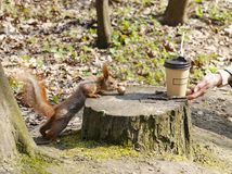 Red squirrel near a tree stump with nuts Royalty Free Stock Photos