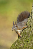 Red squirrel on tree Stock Photo