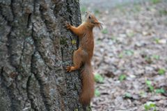 Red squirrel on a tree trunk Stock Photos