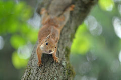 Red Squirrel on the tree Stock Photos