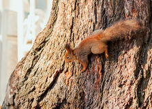 Red squirrel on a tree trunk. Red squirrel on a thick tree trunk royalty free stock photo