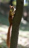 Red squirrel on tree with walnut in mouth Royalty Free Stock Photography