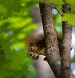 Red squirrel on tree with walnut in mouth. Royalty Free Stock Photo