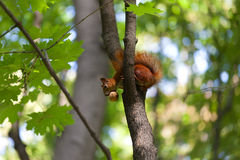 Red squirrel on tree with walnut in mouth and looking down Royalty Free Stock Photo