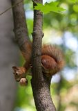 Red squirrel on tree with walnut in mouth, looking down Royalty Free Stock Photography