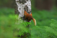 Red squirrel on a tree Royalty Free Stock Images