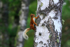 Red squirrel on a tree. Red squirrel in a tree watching the photographer while looking for food royalty free stock image