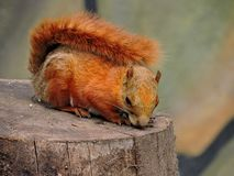 Red squirrel on trunk royalty free stock photography