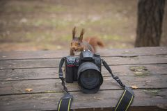 Photo squirrel in the woods. Red squirrel trying photo camera in the woods. Squirrel with camera stock photos