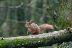 Red Squirrel. A red squirrel in the highlands of Scotland Royalty Free Stock Photography