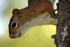 Red Squirrel climbing down Royalty Free Stock Photography