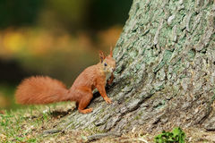 Red squirrel. Royalty Free Stock Image
