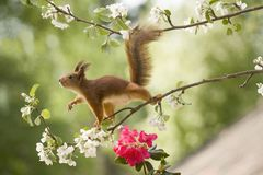 Red squirrel is walking on a apple flower branch. Red squirrel walking on a apple flower branch royalty free stock images
