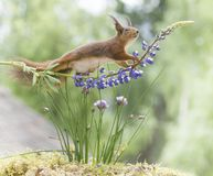 Red squirrel is walking on a lupine Royalty Free Stock Photography