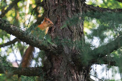 Red Squirrel Walking The Pine Tree Branch Royalty Free Stock Image