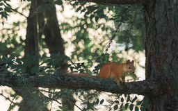 Red Squirrel Walking The Pine Tree Branch Stock Image