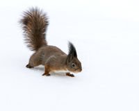 Red squirrel walking on snow Stock Images