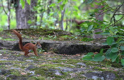 Red Squirrel. Walks in the forest in search of food royalty free stock images