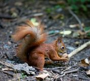 Red squirrel with walnut in autumn forest Stock Image