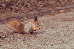 Red Squirrel with walnut Royalty Free Stock Images