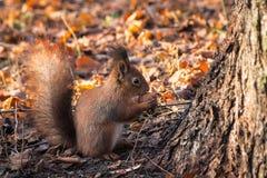 Red Squirrel with walnut (Sciurus vulgaris). Red Squirrel in autumn forest (Sciurus vulgaris Royalty Free Stock Image