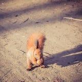 Red Squirrel with walnut (Sciurus vulgaris). Red Squirrel with nut (Sciurus vulgaris Royalty Free Stock Image