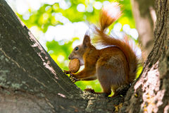 Red squirrel with a walnut on the tree Stock Photos