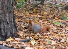 Red squirrel with walnuts Royalty Free Stock Image