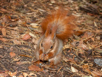 Red squirrel with walnuts Royalty Free Stock Photos