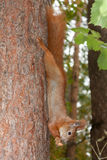 Red squirrel with walnuts Royalty Free Stock Photo