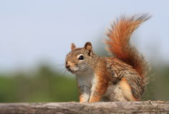 Red Squirrel with Wet Body Stock Photos