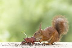 Red squirrel with an wheelbarrow with sunflower plant Royalty Free Stock Images