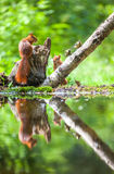 Red Squirrel whit caol it Stock Photo