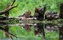 Red Squirrel Whit Coal It Royalty Free Stock Photo