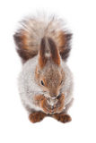 Red squirrel. Squirrel on a white background Stock Photos