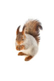 Red squirrel on white background. On his hind legs Royalty Free Stock Images