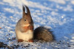 Red squirrel on white snow. Red-haired squirrel on white snow in the park Stock Photo
