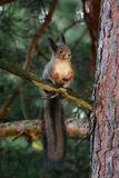 Red squirrel. Wild red squirrel on branch, fluffy tail hanging stock photos