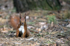 Red squirrel in the wild Royalty Free Stock Photography