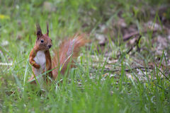 Red squirrel in the wild, in the grass Royalty Free Stock Images