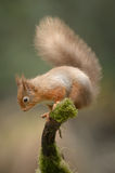 Red Squirrel. A wild Red Squirrel perched on a moss covered branch royalty free stock image