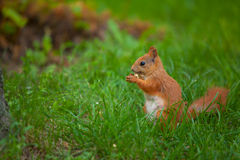 Red squirrel in wild Royalty Free Stock Image