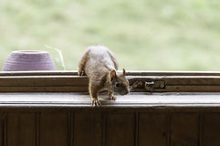 Red squirrel at the window. Red squirrel enter a house Stock Image