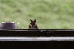 Red squirrel at the window. Of my home Royalty Free Stock Image