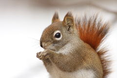 Red Squirrel in the winter Royalty Free Stock Photo