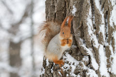Red Squirrel in Winter. Red squirrel or Eurasian red squirrel on a tree in the winter snow stock photos